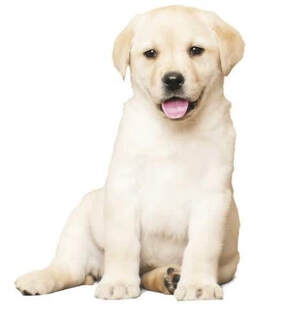 Yellow Labrador puppy sitting
