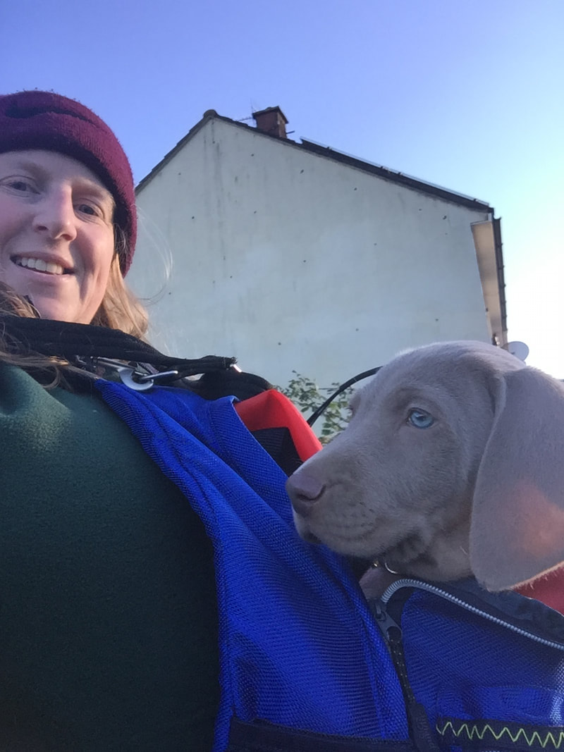 Weimaraner puppy being carried in a bag by it's owner